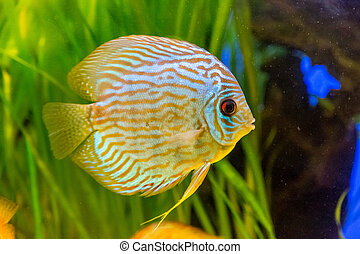 Aquarium with tropical fish of the Symphysodon discus...