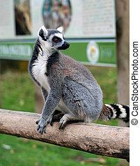 Lemur Maki catta - A lemur monkey Maki catta
