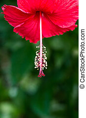 Red Hibiscus flower. close up