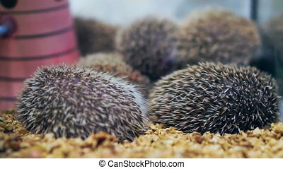 small little hedgehogs sleeping together