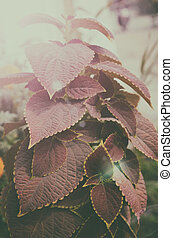 pink color gardening leaf tree - Close up of beautiful pink...