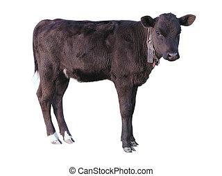 Beautiful black little pretty calf isolated over white...