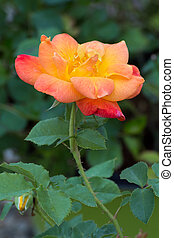 Golden Peach Rose - A beautiful rose blooms in shades of...