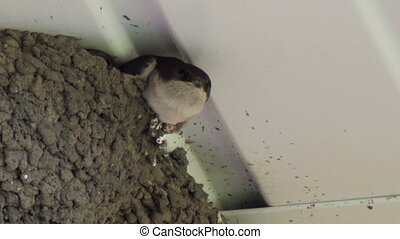 Swallow chicks in the nest Swallow feeding chicks - Clay...