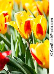 Tulips flower Garden - Fresh colorful tulips flower,...