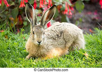 European Hare (Lepus Europaeus) Close-up