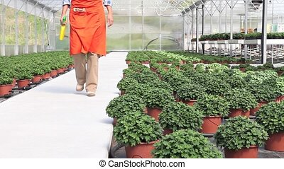 woman at work in greenhouse with spray, care plants to...