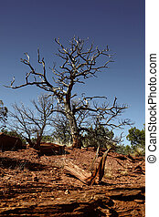 Drought Damage - Ancient junipers which were growing in...
