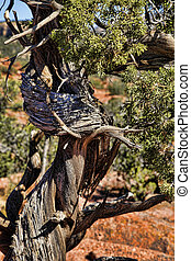 Wind Twisted Juniper Sculpture - Wind and the elements have...