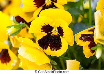 Pansies - yellow Pansies in a flowerbed