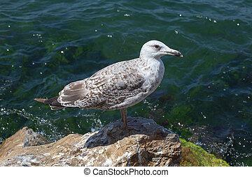 Seagull sitting on a rock near the sea - Portrait of a gull...