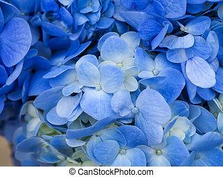 Blue Hydrangea flower.