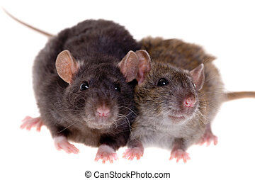Two small rats - Two small domestic rats isolated on white