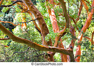 Tree trunk of Arbutus (disambiguation) close up