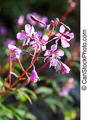 Chamerion angustifolium flowers - Fireweed or Chamerion...