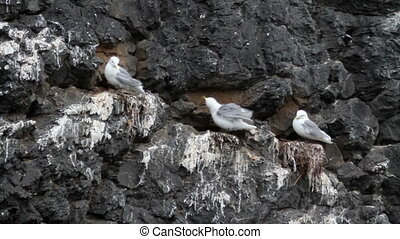 Kittiwake birds on the rock