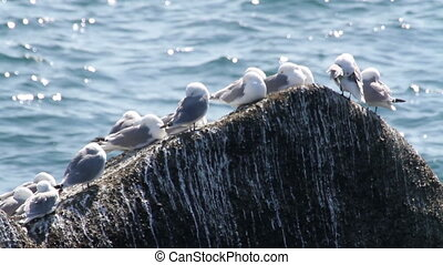 Kittiwakes on A Rock in the sea - Beautiful shot from...