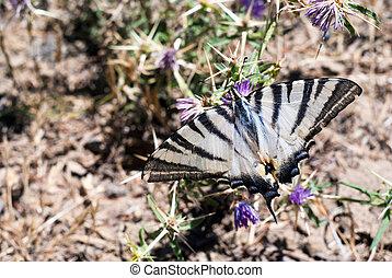 Butterfly on a flower in sicilian countryside Nebrodi...