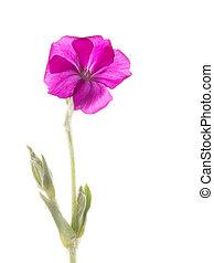 Campion, delicado, flor, corona,
