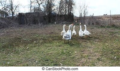 Flight of domestic geese in the yard - Flight of domestic...