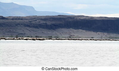 Flock of seals - Long shot of Flock of seals on the shore of...
