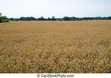 Grain field - Farmland with grain field ready for harvest