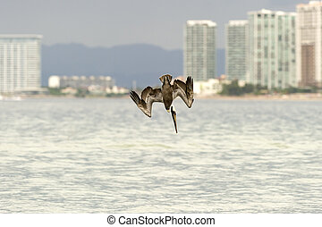 Pelican Diving Flying - Pelican diving at full speed in a...