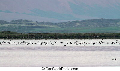 Flock of Birds in Iceland Lake