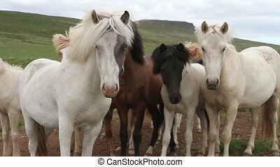 Iceland blue eyes horses - Beautiful Iceland blue eyes...