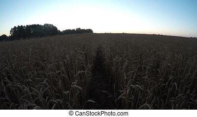 Wheat field landscape sunrise - Wheat field landscape with...