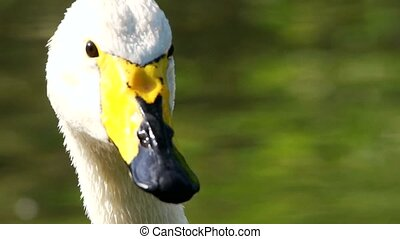 whooper swan - closeup