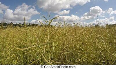 Field of ripe oilseed rapes,