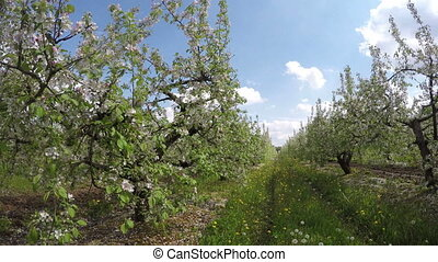 Road in apple-tree garden, - Road in between fields of...