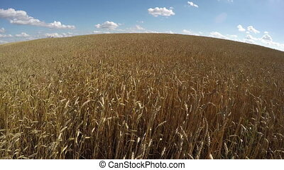 Wheat field landscape, - Wheat field landscape with cloudy...