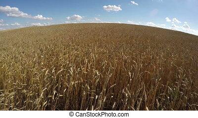 Wheat field landscape,