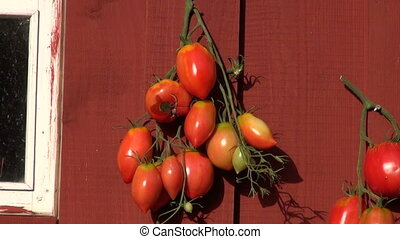 Ripening tomatos on red wooden wall