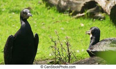 cormorants in the summer sun
