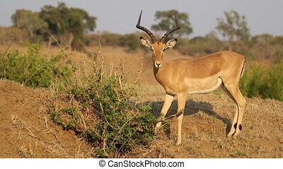 Feeding impala antelope - A male impala antelope Aepyceros...