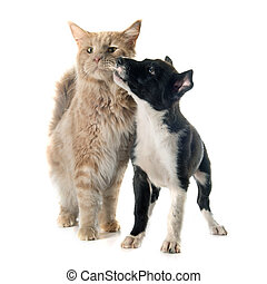 puppy border collie and maine coon