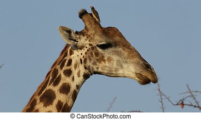Giraffe with oxpecker birds - Portrait of a giraffe (Giraffa...