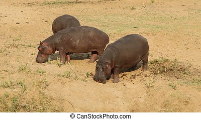 Hippopotamus - Hippos (Hippopotamus amphibius) outside the...