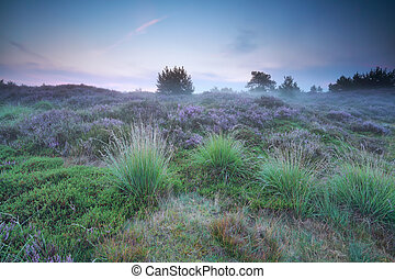 misty summer sunrise over meadow with heather