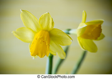 Daffodils - Yellow daffodils on a colored background Easter...