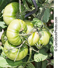 Growing Tomatoes - A branch of green tomatoes