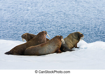 Four Walrus Lying on the Snow - Four walrus lying on the...