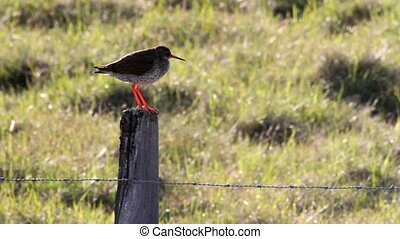 Redshank bird stands on a Barbed wire in Iceland