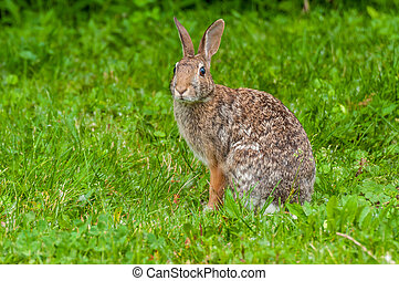 Cottontail Rabbit sitting on a footpath looking into the...
