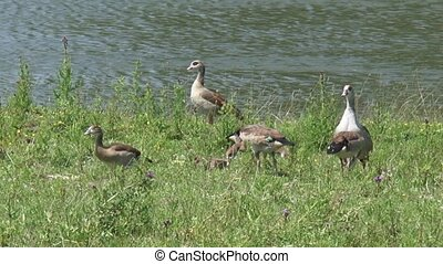 Egyptian goose, Alopochen aegyptiaca, parents + goslings forage on a river bank
