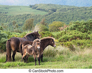 Famiy group of wild Exmoor ponies, with foal Devon, UK -...