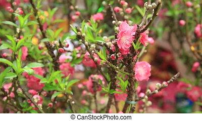blooming peach flowers